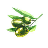 Watercolor illustration. Olive branch. Stock Photo