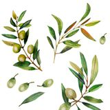 Watercolor illustration of olive branches. vector illustration
