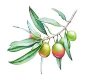 Watercolor illustration of the olive tree branch with olives and Stock Photo