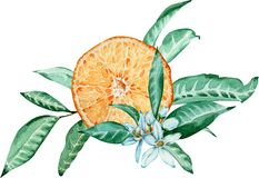 Tangerine composition with flowers and leaf. Tangerine cut. Decoration. Watercolor illustration vector illustration
