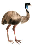 Watercolor illustration of ostrich emu in white background. Royalty Free Stock Photo