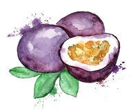 Watercolor illustration of passion fruit. Watercolor hand drawn illustration of passion fruit silhouette on a white background stock illustration