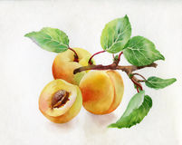 Watercolor illustration of peaches. Watercolor illustration of fresh peaches Royalty Free Stock Images