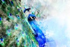 Peacock - watercolor illustration portrait stock photos