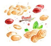 Watercolor illustration of peanut Royalty Free Stock Photos
