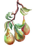 Watercolor Illustration of pears. Watercolor Illustration of green pears Royalty Free Stock Images
