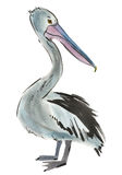 Watercolor illustration of Pelican in white background. Stock Photos
