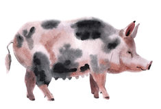 Watercolor illustration of a pig Stock Images