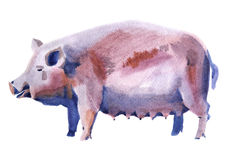 Watercolor illustration of a pig Stock Photography