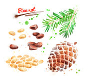 Watercolor illustration of pine nut. Peeled and unpeeled with paint smudges and splashes Stock Photography