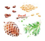 Watercolor illustration of pine nut. Peeled and unpeeled with paint smudges and splashes stock illustration