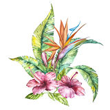 Watercolor illustration of a pink hibiscus and leaves, Strelitzia reginae, tropical flower composition vector illustration