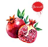 Watercolor illustration of pomegranate. Hand drawn watercolor painting on white background. vector illustration