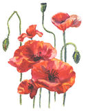 Watercolor illustration of poppy flowers Royalty Free Stock Images