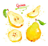 Watercolor illustration of quince Royalty Free Stock Images