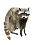 Watercolor illustration of a raccoon Royalty Free Stock Image