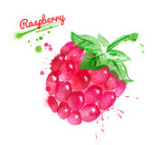 Watercolor illustration of raspberry Royalty Free Stock Photo