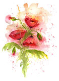 Watercolor illustration of red poppy flowers on white background. Watercolor illustration of poppy flowers on white background. Beautiful bouquet of poppies Royalty Free Stock Image
