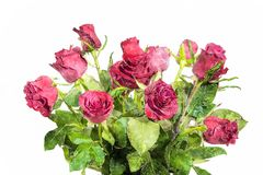 Watercolor illustration of red roses. On white background royalty free stock photo