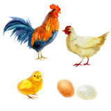 Watercolor illustration, rooster, chicken, and chicken. New Year symbol image element to holiday cards, posters, invitations. Royalty Free Stock Photos