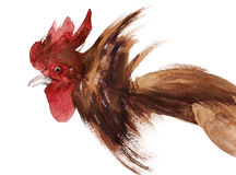 Watercolor illustration of a rooster in white background. Stock Photography