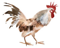 Watercolor illustration of a rooster in white background. Stock Images