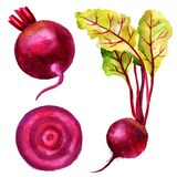 Watercolor illustration of root beet, leaves of chard, slice of beetroot, set of vegetables. Royalty Free Stock Photo