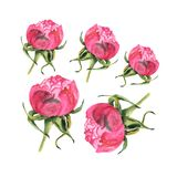 Watercolor illustration of rose bud on white Stock Photos