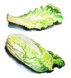 Watercolor illustration salad lettuce, salad leaf, fresh lettuce Stock Image