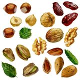 Watercolor illustration, set. Nuts, hazelnut, pistachios, walnut, almond and date fruit. Watercolor illustration, set. Nuts, hazelnut, pistachios walnut almond vector illustration