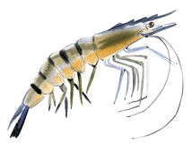 Watercolor illustration of shrimp  in white background. Stock Photos