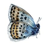 Watercolor Illustration of Sitting Silver-studded Blue Butterfly
