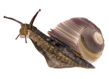 Watercolor illustration of  snail  in white background. Royalty Free Stock Image