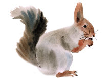 Watercolor illustration of a squirrel Stock Image