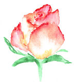 Watercolor illustration of stylized rose flower. Color illustration of flowers in watercolor paintings. Royalty Free Stock Photography