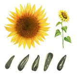 Watercolor illustration of sunflower with leaves and seeds isolated on white background with clipping paths stock photography