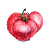 Watercolor illustration of Tomato. Watercolor illustration of red Tomato Stock Image
