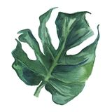 Watercolor illustration.Tropical leaves on white background. stock photo