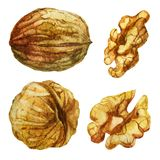 Watercolor illustration. Walnut from different directions. Walnut without shell. Watercolor illustration. Walnut from different directions. Walnut without shell Stock Images