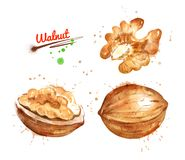 Watercolor illustration of walnut. Peeled and unpeeled with paint smudges and splashes stock illustration