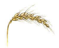 Watercolor illustration of wheat ear on white Royalty Free Stock Image
