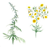Watercolor illustration with wildflower Stock Photo