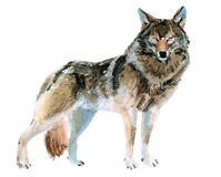 Watercolor illustration of a wolf Stock Image