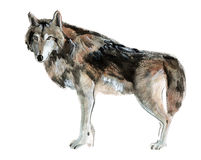 Watercolor illustration of a wolf Stock Photography