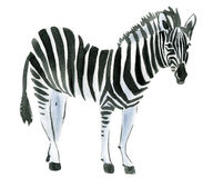 Watercolor illustration of a zebra Stock Image