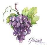 Watercolor illustrations of grapes Royalty Free Stock Image