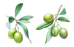 Watercolor illustrations of the olive tree branches with olives and green leaves Stock Image