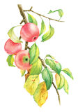 Watercolor image of branch and apples. Watercolor image of branch and three ripe apples Stock Photos