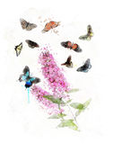 Watercolor Image Of Butterfly Bush Stock Photos