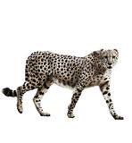 Watercolor Image Of Cheetah. Watercolor Digital Painting Of  Walking Cheetah Isolated On White Background Stock Photos